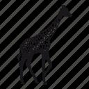 giraffe, girafa, zoo