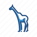 animal, giraffe