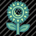 blossom, botanical, flower, nature, sunflower
