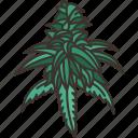 cannabis, flower, marijuana, herb, plant