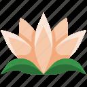 lotus, flower, floral, garden, plant, nature, natural