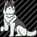siberian, husky, funny, sledge, dog