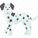 dalmatian, spotted, dog, hunting, hound