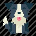 border, collie, dog, pet, animals, breeds