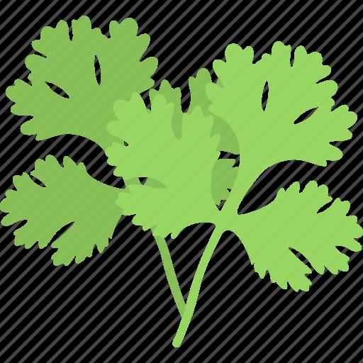 Fresh coriander, cooking ingredient, chinese parsley, coriandrum sativum, pak chee icon