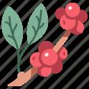 organic, plant, coffea, fruit, coffee, arabica icon