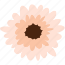 daisy, flower, gerbera, floral, nature, plant