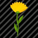 bloom, calendula, flower, marigold, officinalis, white