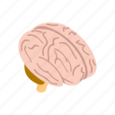 brain, human, isometric, medical, medicine, mind, system icon