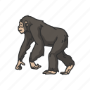 animal, ape, bonobo, chimpanzee, chimps, mammals