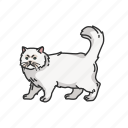animal, cat, kitten, mammal, persian cat, pet, shirazi cat