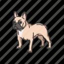 animals, boston terrier, bulldog, dog, mammals, pet
