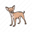 animals, chihuahua, dog, mammal, pet, puppy, teacup dog