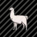 alpaca, animals, cria, lama galma, llama, mammal, pack animal