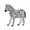 black and white striped, equidae family, large land mammal, zebra