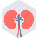 anatomy, body, human body part, kidneys, organ icon