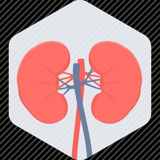 anatomy, body, human body part, kidneys, organ icon