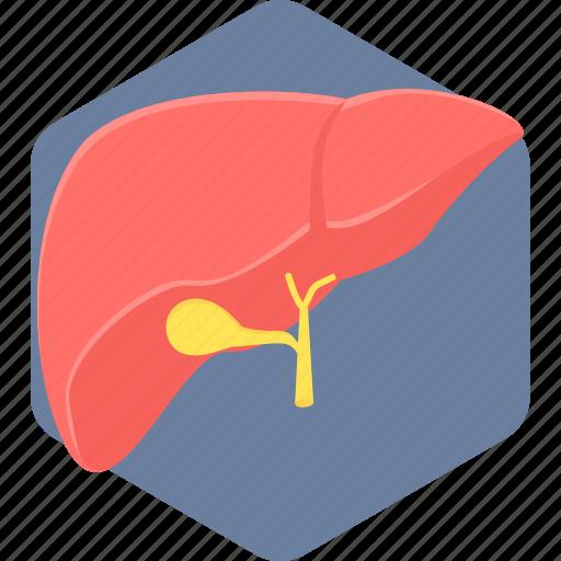 anatomy, body, liver, organ, part icon