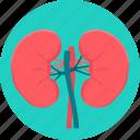 kidney, kidneys, anatomy, medical, organ