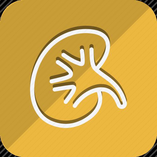 Anatomy, bodypart, healthcare, human, medical, medicine, kidney icon - Download on Iconfinder