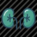 anatomy, kidney, organ, urine, biology, excretory system, medical